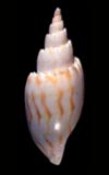 Lyria aphrodite Volute  seashell for sale