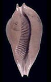 Umbilia eximia  cowries.info collector shell sales