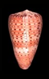 Conus medoci  cowries.info collector shell sales